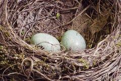 Het nest van de merel met twee eieren in groene schaduw Royalty-vrije Stock Foto's