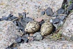 Het nest van de scholekster met twee eieren Royalty-vrije Stock Afbeeldingen
