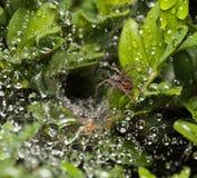 Het nest van de spin op buxus royalty-vrije stock afbeeldingen