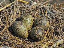 Het nest van de stelt met eieren Royalty-vrije Stock Afbeeldingen