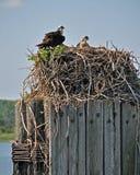 Het Nest van de visarend Royalty-vrije Stock Foto's