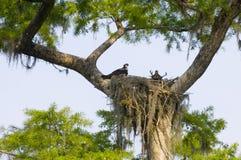 Het nest van de visarend royalty-vrije stock afbeelding