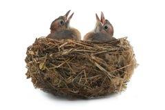 Het nest van de Vlaamse gaai Stock Foto
