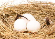 Het nest van de vogel Stock Foto
