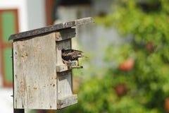 Het nest van de vogel en het Europese starling. Royalty-vrije Stock Afbeelding