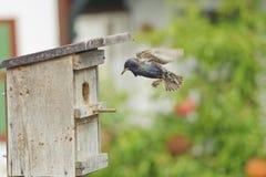 Het nest van de vogel en het Europese starling. Royalty-vrije Stock Foto's