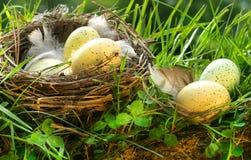 Het nest van de vogel met eieren royalty-vrije stock fotografie