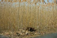 Het nest van de vogel op water (Fulica Atra) Royalty-vrije Stock Afbeeldingen