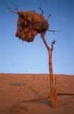 Het Nest van de Vogel van de wever Stock Afbeeldingen