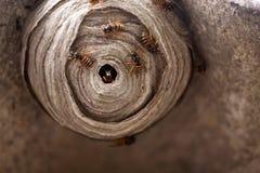 Het Nest van de wesp Stock Afbeelding