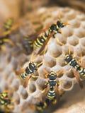 Het nest van de wesp Royalty-vrije Stock Foto's