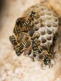 Het nest van de wesp royalty-vrije stock afbeelding
