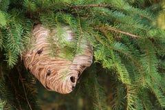 Het Nest van de wesp Stock Foto