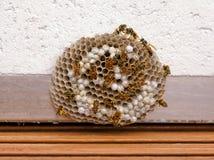 Het Nest van de wesp - met het knippen van weg Royalty-vrije Stock Foto's