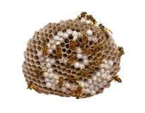 Het Nest van de wesp - met het knippen van weg Stock Foto's
