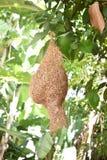 Het nest van de weversvogel zeer te vinden achtergedeelte, genomen door DSLR stock foto