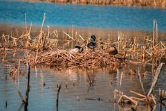 Het nest van de wilde eendeend op een de lentedag in een meer royalty-vrije stock afbeeldingen