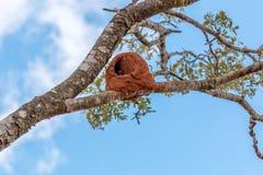 Het Nest van Hornerovogels Royalty-vrije Stock Foto's