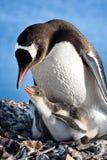 Het nest van pinguïnen Royalty-vrije Stock Afbeeldingen