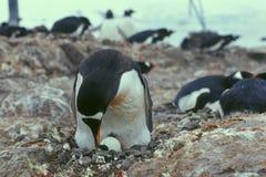 Het nest van pinguïnen. Royalty-vrije Stock Foto