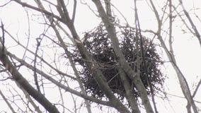 Het nest van het raaftakje bij de bovenkant van de esdoornboom in de vroege lente bij daglicht Telephotomening van onderaan stock video