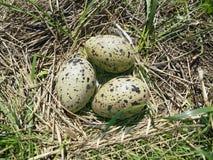 Het nest van scholeksters stock afbeelding