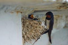 Het nest van slikt royalty-vrije stock afbeelding
