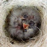 Het Nest van vogels Stock Afbeelding