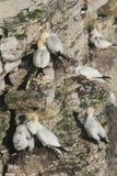 Het nestelen Jan-van-gent, Morus-bassanus, aan de kant van een klip wordt neergestreken die royalty-vrije stock foto