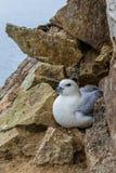 Het nestelen noordse stormvogel Royalty-vrije Stock Foto's