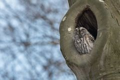 Het nestelen Tawny Owl Strix aluco stock fotografie