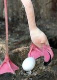 Het Nestelen van de flamingo stock afbeelding