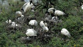 Het nestelen van Zwarte leiden-ibis stock videobeelden