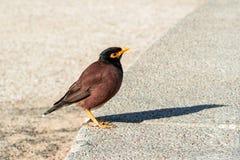 Het nestelen vanzich starling kleur Stock Fotografie