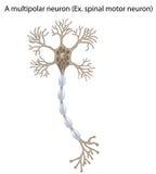 Het neuron van de motor, detail en nauwkeurig, wordt niet-geëtiketteerdd dat versus vector illustratie
