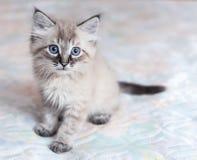 Het neva-Maskerade katje stock foto's