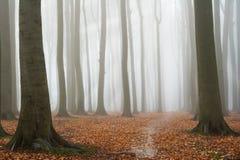 Het nevelige bos van de de herfstbeuk royalty-vrije stock fotografie