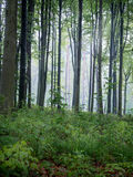 Het nevelige Bos van de Ochtend Stock Foto's