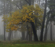 In het nevelige de herfstbos Stock Afbeelding