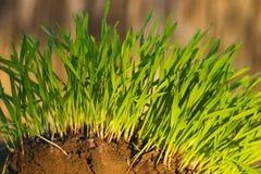 Het nieuwe Groene groeien van het Gras royalty-vrije stock afbeelding