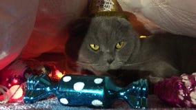 Het nieuwe jaar kroop omhoog, geklede omhoog Schotse vouwen grijze kat in een Gouden hoed stock videobeelden