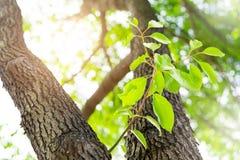 Het nieuwe nieuwe leven, - de geboren groene verlofgroei op de oude boom, de zomerconcept royalty-vrije stock fotografie