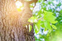 Het nieuwe nieuwe leven, - de geboren groene verlofgroei op de oude boom, de zomerconcept royalty-vrije stock foto's