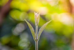 Het nieuwe leven: De zachte spruiten van bomen in de ochtend op vage bokeh aardachtergrond, Zachte spruiten van Schuurpapierwijns stock fotografie