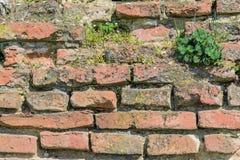 Het nieuwe leven op oude muur Stock Foto