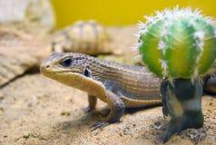 Het nieuwsgierige de Soedan geplateerde hagedis verbergen achter cactus Stock Foto's