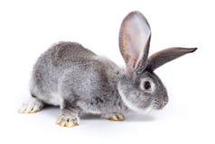 Het nieuwsgierige grijze konijn snuiven Stock Foto