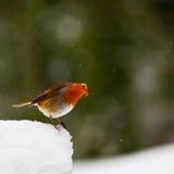 Het nieuwsgierige kijken Robin in sneeuw Stock Foto