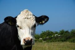 Het nieuwsgierige koe letten op Stock Fotografie