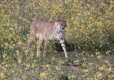 Het niezen jachtluipaard Stock Foto's
